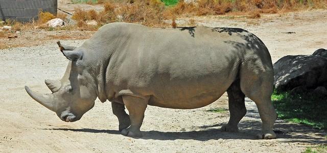 Angalifu the Northern White Rhinoceros